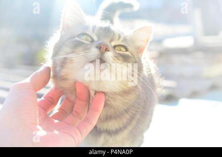 Eine junge graue Katze genießt die Art und Weise, seinen Hals verkratzt ist. Eine menschliche Hand streichelt den Hals von einem Haustier. - Stockfoto