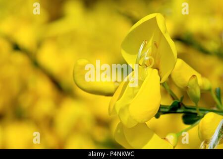 Ginster (cytisus Scoparius), in der Nähe von einer einzigen Blume gegen unscharf Blumen im Hintergrund. - Stockfoto