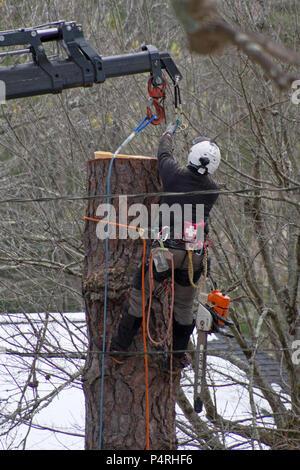 Eine voll in Baumzüchter mit Schutzkleidung mit Helm angeseilt, Erste Hilfe Kit und Schutzkleidung, verwendet einen Kran, als er einen Baum nimmt - Stockfoto