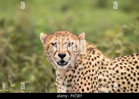 Gepard (Acinonyx jubatus) Porträt im Serengeti National Park, Tansania - Stockfoto