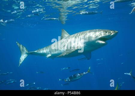 Großer weißer Hai (Carcharodon carcharias), Guadeloupe, Mexiko - Stockfoto