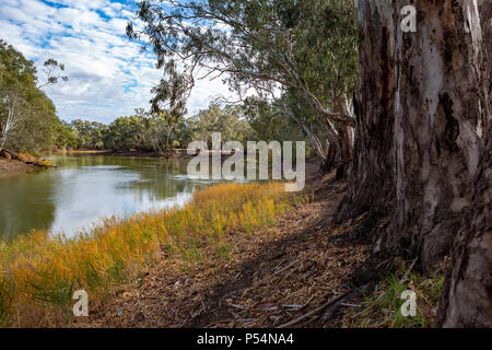 Die redgum Bäume am Ufer des Flusses Murray in Tooleybuc New South Wales Australien am 11. Juni 2018 - Stockfoto