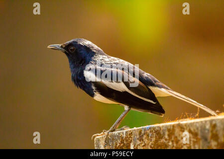 Orientalische Magpie Robin portrait - Stockfoto