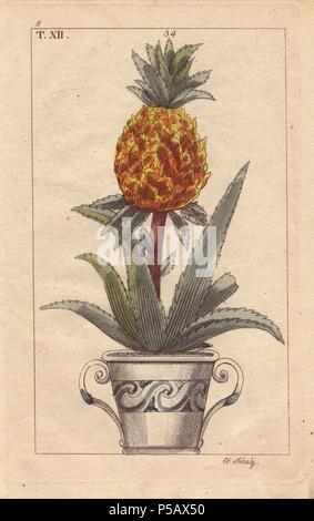 Ananas Pflanze Im Topf Bromelien Ananas Stockfoto Bild 33945094