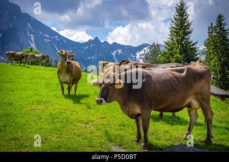 Kühe mit ordnungsgemäß befestigt Ohrmarken auf einer Bergwiese in den Schweizer Alpen in der Nähe von Urnäsch und Schwägalp, Kanton Appenzell Ausserrhoden, Schweiz. - Stockfoto