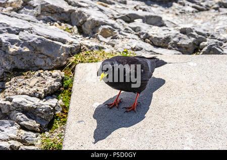 Studie eines Alpine chough auf dem Säntis in die Appenzeller Alpen, im Nordosten der Schweiz. - Stockfoto
