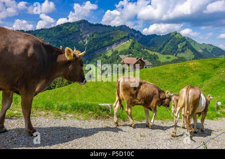 Kühe mit ordnungsgemäß befestigt Ohrmarken zu Fuß eine unbefestigte Straße in den Schweizer Alpen in der Nähe von Urnäsch und Schwägalp, Kanton Appenzell Ausserrhoden, Schweiz. - Stockfoto