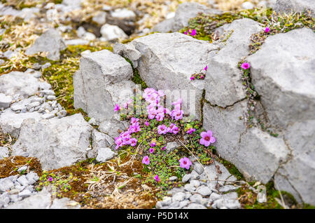 Purple Mountain, steinbrech Saxifraga oppositifolia auf dem Gipfel des Säntis, Appenzell Alpen, Schweiz. - Stockfoto