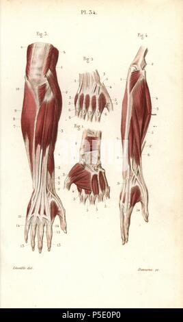 Muskeln und Sehnen des Unterarms und der Hand Stockfoto, Bild ...