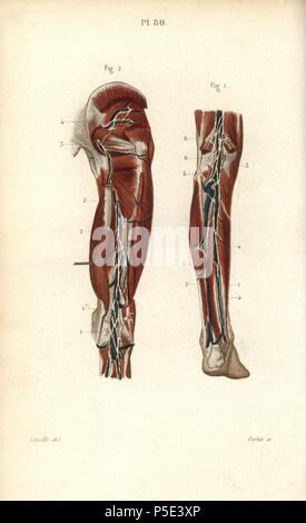 Lymphknoten und Gefäße tief in das Bein Stockfoto, Bild: 38254913 ...