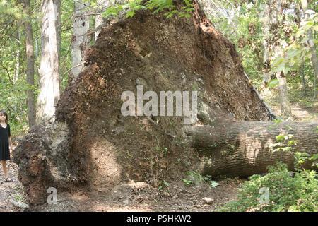 Entwurzelte Baum im Wald. Kleine Mädchen stehen große gefallenen Baum. - Stockfoto