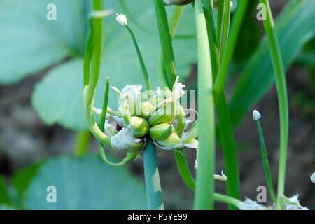 Baum Zwiebeln (Allium × proliferum,) oder auf eine Anlage in einem Land Garten im Juni Sommer Wales UK KATHY DEWITT