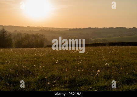 Die untergehende Sonne mit diffusem Licht über einem Feld voller Pusteblumen - Stockfoto
