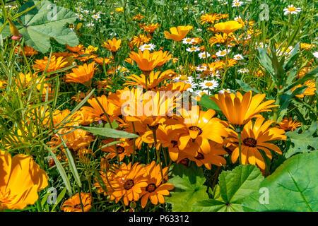 Dimorphotheca Sinuata oder drüsengewebe Kap Ringelblume. Auch als Namaqualand daisy bekannt, eine einheimische Pflanze von Südafrika - Stockfoto