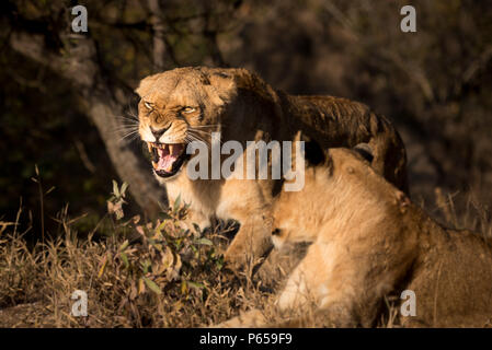 Löwin brüllt Stockfoto