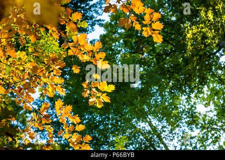 Suchen nach in Ahorn Baum als die Blätter und wechselt die Farbe von Grün zu Gelb und Orange im Herbst, Luxemburg, Mitteleuropa - Stockfoto
