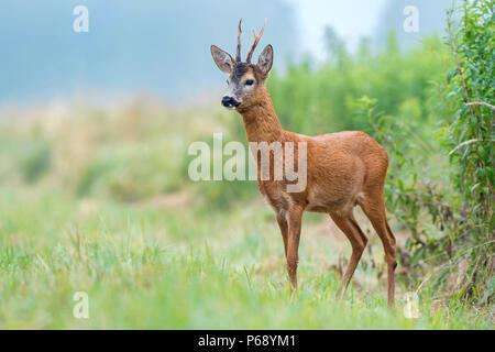 Wilde Rehbock stehend in einem Feld - Stockfoto
