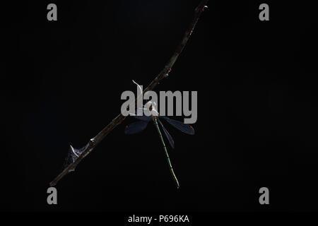 Blassen Spreadwing Damselfly (Lestes pallidus) Hängen an dunklen Wald Zweig - Stockfoto