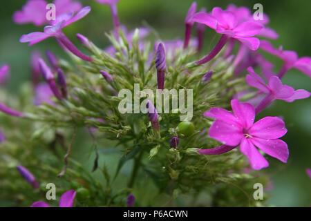 In der Nähe von Oleander Blumen - Stockfoto