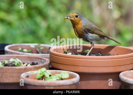Erithacus Rubecula. Robin Fütterung auf Mehlwürmer im Englischen Garten. - Stockfoto