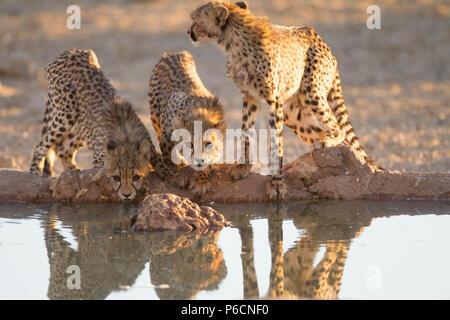 Cheetah Cubs Trinkwasser aus einem Teich