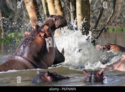 Flusspferde kämpfen im Lake Naivasha - Stockfoto