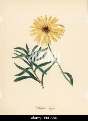 """Glanduläre Kap Ringelblume, Dimorphotheca sinuata (Biegung angepirscht Marygold, Calendula tragus). Papierkörbe zincograph von C. Chabot von Miss M. A. Burnett von ihrem 'World Utiliores: oder Abbildungen von Nutzpflanzen gezeichnet"""", Whittaker, London, 1842. Miss Burnett zeichnete die botanische Abbildungen, aber der Text wurde vor allem durch ihren verstorbenen Bruder, britische Botaniker Gilbert Thomas Burnett (1800-1835). - Stockfoto"""