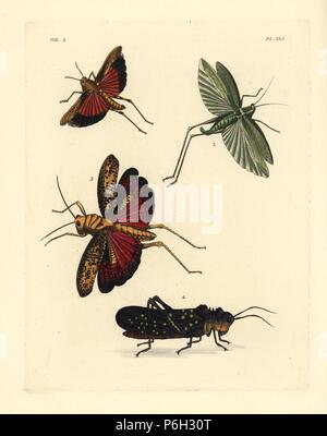 """Obskure vogel Heuschrecke, Schistocerca obscura 1, fork-tailed Bush katydid, Scudderia furcata 2, Heuschrecke, lubber Taeniopoda centurio 3 und Kaffee Heuschrecke, Aularches miliaris miliaris Subsp 4. Papierkörbe Lithographie von neuen John O. Westwood's Edition von Dru Drury' Illustrationen von exotischen Entomologie"""", Bohn, London, 1837."""