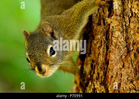 """Ein rotes Eichhörnchen """"Tamiasciurus hudsonicus'' klettern auf den Stamm einer Fichte - Stockfoto"""