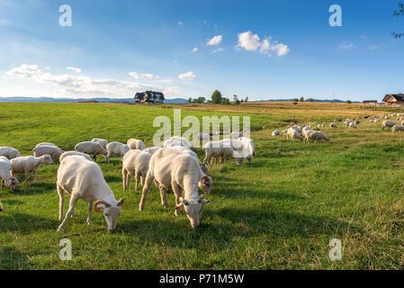 Eine Menge Schafe auf der schönen, grünen Wiese in Pieniny. Polen. - Stockfoto
