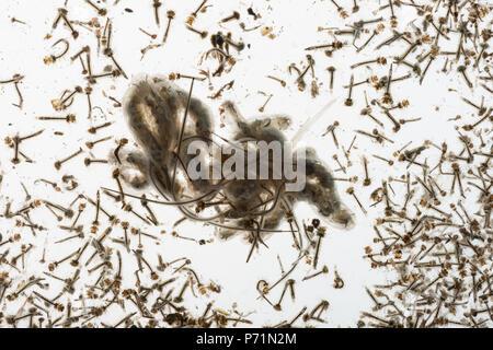Moskito culicidae puppen und larven zusammen mit drohne for Larven im teich