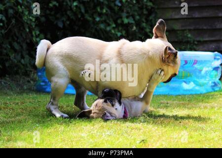 """Zwei Hunde im Garten spielen. Das eine ist ein Jahr alt, männlich Mops und das andere ist ein drei Monate alten weiblichen """"TUCKERN"""" (Chihuahua kreuz Pug). - Stockfoto"""