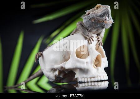 Eidechse, Schädel auf Black Mirror Hintergrund Stockfoto, Bild ...