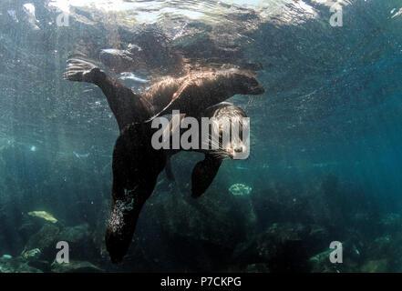 Galapagos Seelöwe (Zalophus wollebaeki) Familie Unterwasser - Stockfoto