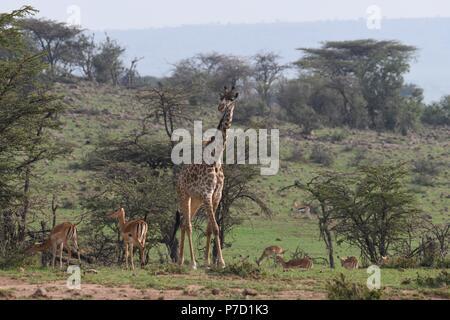 Die maasai Giraffe (Giraffa Camelopardalis tippelskirchii), auch genannt Kilimanjaro Giraffe. Bild in das Tal bei Mahali Mzuri, Maasai Mara. - Stockfoto