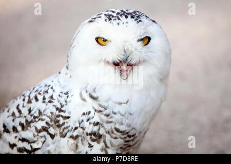 Schnee-eule (Bubo scandiacus), Aufruf, Tier Portrait, Captive, Deutschland - Stockfoto
