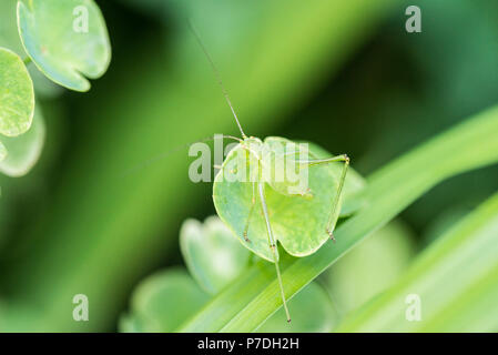 Eine weibliche gesprenkelten Busch - Kricket Nymphe (Leptophyes punctatissima) auf eine Euphorbia - Stockfoto