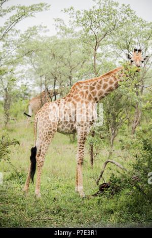 Portrait von Giraffe unter Bäumen, Krüger Nationalpark, Südafrika - Stockfoto