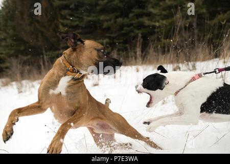 Hund läuft weg von aggressiven Hund an der Leine im Schnee - Stockfoto