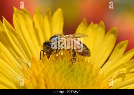 Honigbiene bestäubt Blume - Stockfoto