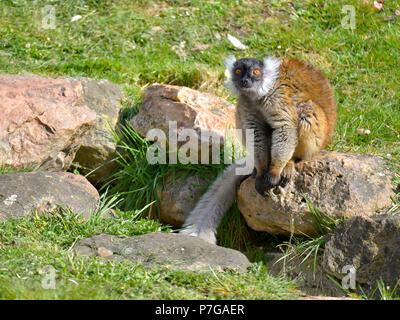 Frau Schwarz lemur macaco (Eulemur macaco) sitzt auf Felsen. Das Männchen ist schwarz - Stockfoto