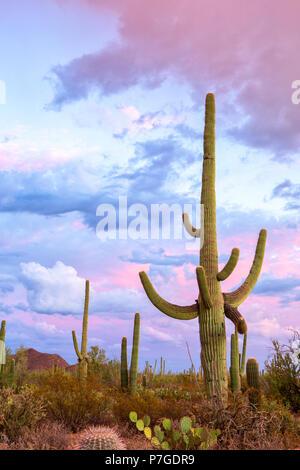 Sonnenuntergang in den Saguaro National Park, in der Nähe von Tucson, südöstlichen Arizona, Usa. Big Saguaro Kaktus (Carnegiea gigantea) steht gegen eine