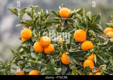 Orangen am Baum, Fornalutx, Mallorca, Balearen, Spanien - Stockfoto