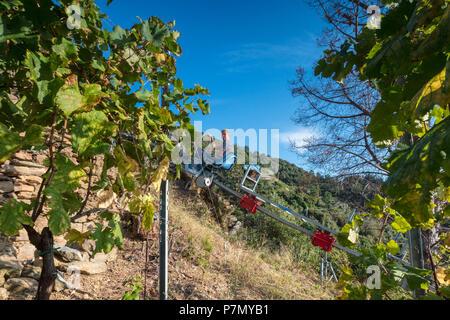 Landwirt während der Ernte der Trauben, Vernazza, Cinque Terre, der Provinz von La Spezia, Ligurien, Italien - Stockfoto