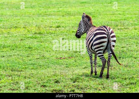 Zebra in der Savanne grasen