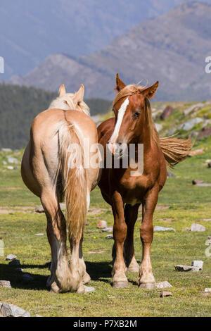 Zwei Pferde stehen nebeneinander auf einer Wiese, die Pyrenäen, Andorra - Stockfoto