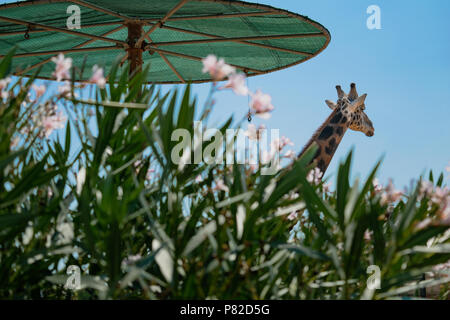 Giraffe in Attika Tierpark, Athen, Griechenland - Stockfoto