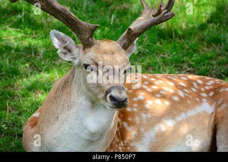 Erwachsenen männlichen Sika Deer ruht auf dem Gras - Stockfoto