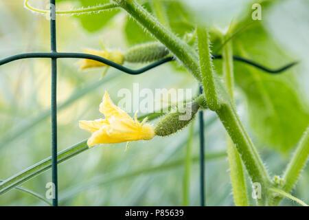 Kleine Jungen Gurken. Das Wachstum und die Blüte Gurken. Die Bush Gurken auf dem Gitterwerk. Anbau von ökologischen Lebensmitteln. Gurken ernten. Blüte cucumbe - Stockfoto