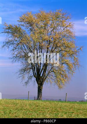Silber Ahorn Baum auf misty Hügel im Herbst Farbe (ACER SACCHARINUM) [Serie] VIER JAHRESZEITEN/Pennsylvania - Stockfoto